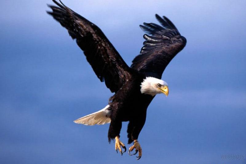 ۱۳۰۸۴۱۸۲۹۶_flying-eagle-wallpaper