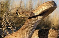 rattle_snakebite_web